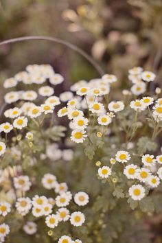 LOVE these flowers! @Dona Howard Misco- what are these? for some reason I want to say chamomile?
