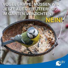 Die #Vogelgrippe ist nur gefährlich für Wasser- und Hühnervögel - was aber auch schon schlimm genug ist. #Singvögel sind Gott sei Dank nicht betroffen. Auf allgemeine Ratschläge zum Vogelfüttern sollte dennoch geachtet werden. lbv.de/fuettern  #virus #vogel #vögel #winterfütterung #vogelfüttern #vögelfüttern #vogelfutter #voegelfuettern #natur #nature #blaumeise #bluetit #avianinfluenza #influenza #naturschutz #winter #garten #gartenvögel #füttern