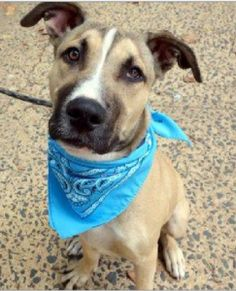 URGENT FOSTER HOME - TO BE DESTROYED - 10/08/15 - PUPPY ALERT!! PARKER - #A1052496 - Manhattan - NEUTERED MALE TAN AND WHITE GERM SHEPHERD AND LABRADOR RETR MIX, 11 Mos - RETURN on 09/3-/15 - OWNER SUR Reason PERS PROB