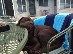 Labrador Retriever – Intelligent and Fun Loving