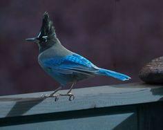 Colorado Blue Jay Bird Photo by JulieMagersSoulen best-of-pinterest-photographers