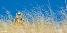 Wachsam blickt der Kaninchenkauz aus dem Langgras. Die tag- und nachtaktive Eule bewohnt die Steppen Mittel- und Südamerikas und brütet in Erdhöhlen, die sie nicht selten ihrer namengebenden Beute abjagt, dem Wildkaninchen – Diese Karte hier online kaufen: http://bkurl.de/pkshop-211203 Art.-Nr.: 211203 Bodenständig | Foto: © Adriano Ebenriter | Text: Rolf Bökemeier