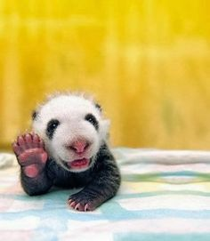 Funny animal pictures of baby panda.