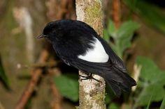 White-winged Robin  (Peneothello sigillatus) Kumul Lodge, near Mt Hagen, PNG,    maholyoak