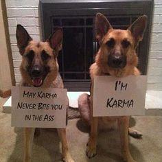 Karma and german shepherds ))