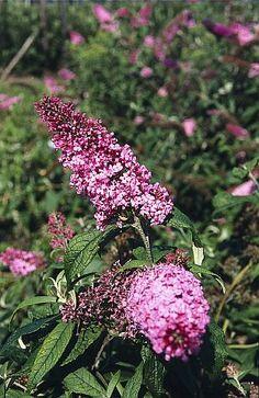"""Buddleja - komule; Komule, nazývané i """"motýlí květina"""", halí světle purpurové a purpurově růžové květy obsypané motýli. Motýli jednoznačně"""