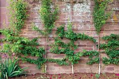 Espaliered fruit trees - grown against a wall or fence - are pretty and practical for tight spaces