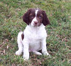 Brittany spaniel brittany puppy