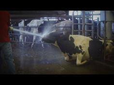 Great Lakes Cheese is 'outraged' over mistreatment of cows (video, slideshow)   cleveland.com