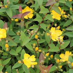 Large garden bush plant yellow flowering in Plymouth, Devon yellow flowering bush - Yellow Things Yellow Flowering Bush, Flowering Bushes, Home Garden Plants, Garden Shrubs, Shade Garden, St Johns Wort Plant, Low Growing Shrubs, Hedging Plants, Bush Plant