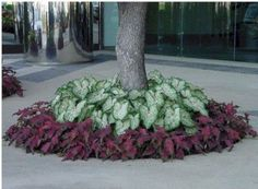 Precision Landscape Caladiums Gingerland with Red Frill - Flower Beds and Gardens Landscaping Around House, Home Landscaping, Landscaping With Rocks, Front Yard Landscaping, Landscaping Software, Florida Landscaping, Crepe Myrtle Landscaping, Hydrangea Landscaping, Tropical Landscaping