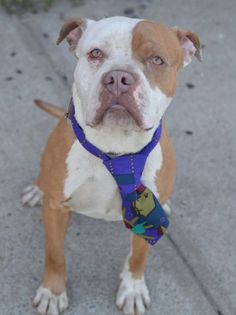 SAFE 4-30-2015 by Second Chance Rescue --- Brooklyn Center OCONNER – A1033541  MALE, BROWN / WHITE, AMER BULLDOG MIX, 2 yrs STRAY – STRAY WAIT, NO HOLD Reason STRAY Intake condition UNSPECIFIE Intake Date 04/18/2015