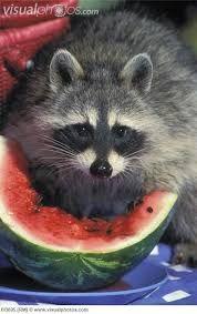 Resultado de imagen para mapaches comiendo donuts