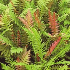 Brazilian Tree Fern