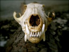Vulpes vulpes - red fox skull, front | Digital Thesis ...