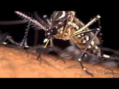 Aedes Aegypti: Dengue mosquito in action! This video shows the Aedes Aegypti mosquito filmed in macrophotography and binocular cinematography while feeding. This mosquito is a vector of dengue fever. via DengueInfo