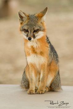 Fox relaxing  by Robert Zimiga, via 500px