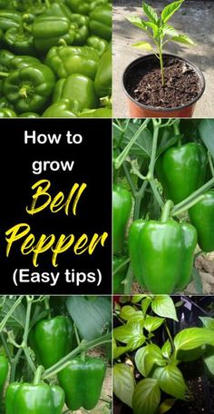 How to grow Bell pepper (easy tips) : Nature Bring - Nature BringYou can find Growing vegetables and more on our website.How to grow Bell pepper (easy tips) : Nature Bring - Nature Bring Growing Green Peppers, Growing Carrots, Growing Greens, Growing Veggies, Growing Plants, Growing Capsicum, Growing Squash, Growing Spinach, Growing Zucchini
