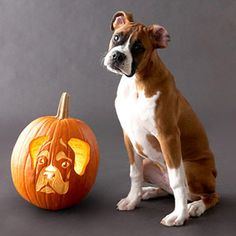 Boxers pumpkin. Going to do this....
