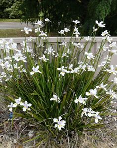 Butterfly Grass Dietes Plant Wild Iris Butterfly Grass, Dietes Plant or Wild Iris and sometimes called the fairy Iris is a fantastic plant for landscaping and decorating gardens with. It's exceptionally low maintenance an ideal plant for the beginner gardener, highly versatile and aesthetically pleasing. Homeowners and gardening enthusiasts will appreciate how the plant can read more