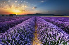 Sunrise on the Lavender Fields in Valensole in Provence - Loïc Lagarde