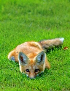 fox looking playful in the grass