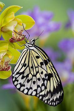 Paper Kite Butterfly by Darrell Gulin