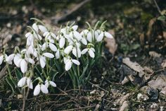 Check out Snowdrops by Pixelglow Images on Creative Market