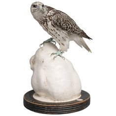 Fine Taxidermy Gyrfalcon on Tigers Head Sculpture by Sinke