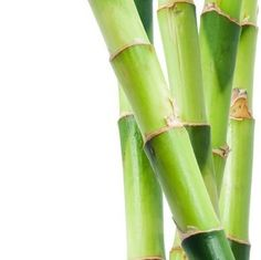 growing bamboo - Growing Bamboo