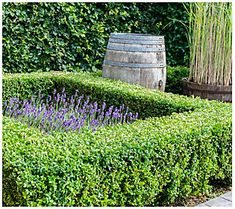 Trim this dense shrub into virtually any shape as it adds rich green foliage to your landscape year round. From Cottage Farms. Boxwood Landscaping, Boxwood Garden, Boxwood Hedge, Backyard Landscaping, Landscaping Design, Box Wood Shrub, Garden Landscape Design, Garden Stakes, Palo Verde