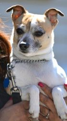 Rocky is an adoptable Jack Russell Terrier Dog in Spring Lake, NJ. Meet Rocky, a graceful, alert Jack Russell/Chihuahua who has a serious expression. Although he may take a minute or two to warm up ...