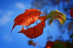 Nelanis.AutumnLeaves