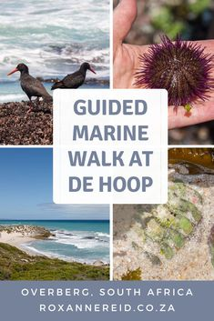 Visiting the De Hoop Nature Reserve in the Cape Overberg of South Africa? Find out why you do not want to miss a guided, interpretive marine walk at De Hoop Nature Reserve to meet all the fascinating creatures of the rock pools at low tide. #DeHoop #rockpools African Holidays, All About Africa, Wildlife Safari, Slow Travel, Kruger National Park, Rock Pools, Nature Reserve, Africa Travel, Virtual Tour