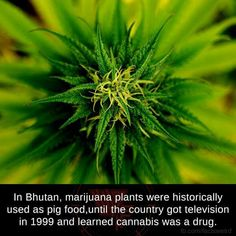 Marijuana Plants, Cannabis, Fun Facts, Awesome Facts, Drugs, Dandelion, Herbs, Learning, Flowers