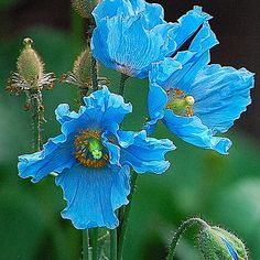 Himalayan+Blue+Poppies. Love this color! These poppies look like paper Macha.