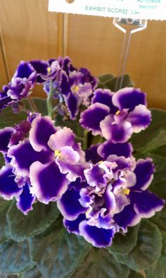 So pretty! I really want to try growing african violets.