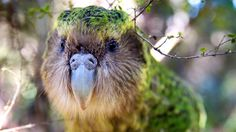 New Zealanders were urged to 'vote kea' in a video campaign for the world's only alpine parrot, resulting in thousands more votes cast for the species than actual birds in existence New Zealand Wildlife, Bbc Two, Natural World, Animal Kingdom, It Cast, Creatures, The Incredibles, Earth, Celebrities