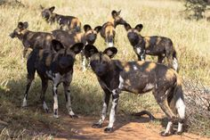 Wild dogs in Laikipia, near Loisaba, Kenya!
