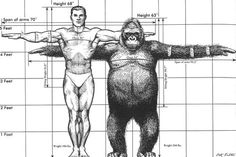 A comparison of the height, weight, and arm-span of a human and a gorilla. Anatomy Drawing, Anatomy Art, Human Anatomy, Primates, Animal Sketches, Animal Drawings, Anatomy Reference, Art Reference, Magnificent Beasts