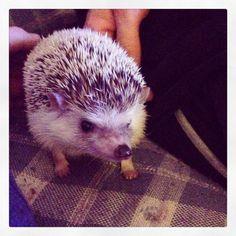#hendrixthehedgehog #hedgehog Ferret, Hedgehog, Animals, Animais, Animales, Animaux, Ferrets, Hedgehogs, Animal