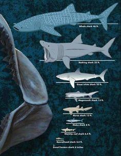 Se muestra en está ilustración la diversidad de tamaños en la especies de tiburón existente .  El más grande que se conoce actualmente es el tiburón ballena , se ha logrado medir y el más grande que se ha hallado ha medido 18 metros. El más pequeño de los tiburones al parecer cabe en la palma de la mano . Todo con la finalidad de compararlo con el Carcharodon megalodon.