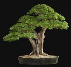 Bonsai is a Japanese art form using miniature trees grown in containers. The word bonsai is usually used in English as an umbrella term for miniature trees in pots. Bonsai is not planted for production of food, for medicine, or for creating. Buy Bonsai Tree, Bonsai Tree Types, Bonsai Tree Care, Indoor Bonsai Tree, Bonsai Plants, Bonsai Garden, Bonsai Trees, Bougainvillea Bonsai, Bonsai Forest