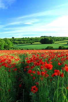 Poppy in Cotswolds, Gloucestershire
