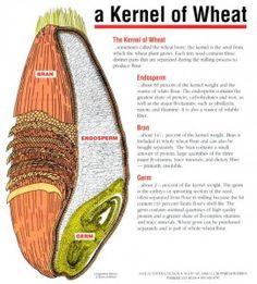 Wheat Diagram