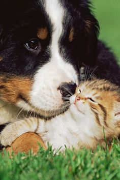 Bernese Mountain Dog Puppy and a kitten...just so easy going!