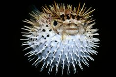 The 20 weirdest fish in the ocean - The Christian Science Monitor Weird Sea Creatures, Ocean Creatures, Underwater Animals, Underwater Creatures, Travel Photography Tumblr, Animal Photography, Photography Tips, National Geographic Animals, Weird Fish