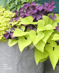 clover and potato vine- love the chartreuse and deep purple.