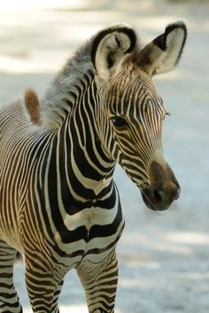 Her name is Savanna...the first female Grevy's Zebra baby born at Ohio's Cincinnati Zoo.