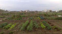 Diversidad de cultivos de los hortelanos en los huertos urbanos de alquiler. Valencia, Vineyard, Outdoor, Veggie Gardens, Diversity, Urban, Outdoors, Vine Yard, Vineyard Vines